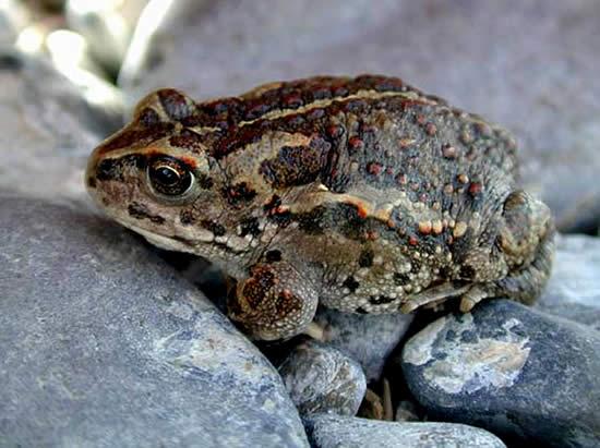 4379 Монгольская жаба
