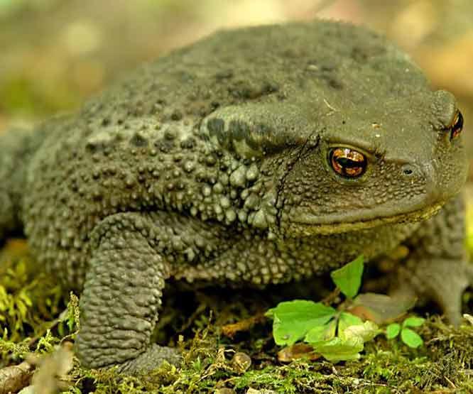 4382 Колхидская жаба
