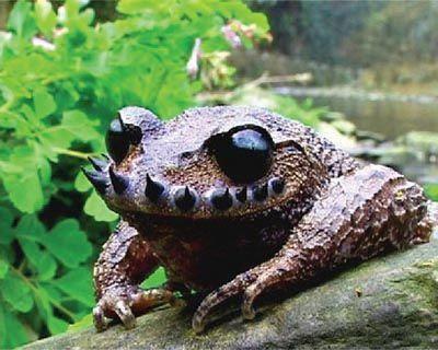 Лягушка Усатая чесночница