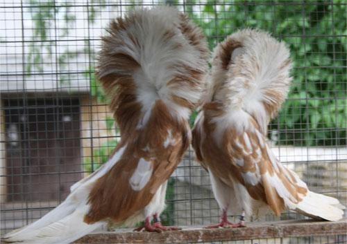 Голубь порода Якобины