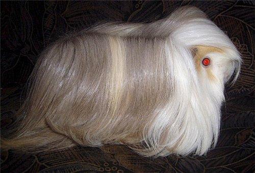 Перуанская морская свинка.