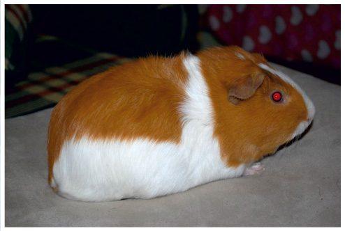 Морская свинка Риджбек.