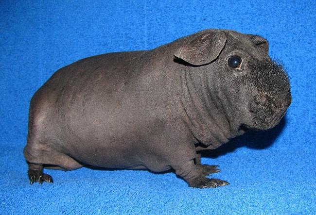 Морская свинка Скинни.