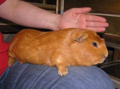 Морская свинка Куи.