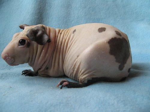 Морская свинка Болдуин.