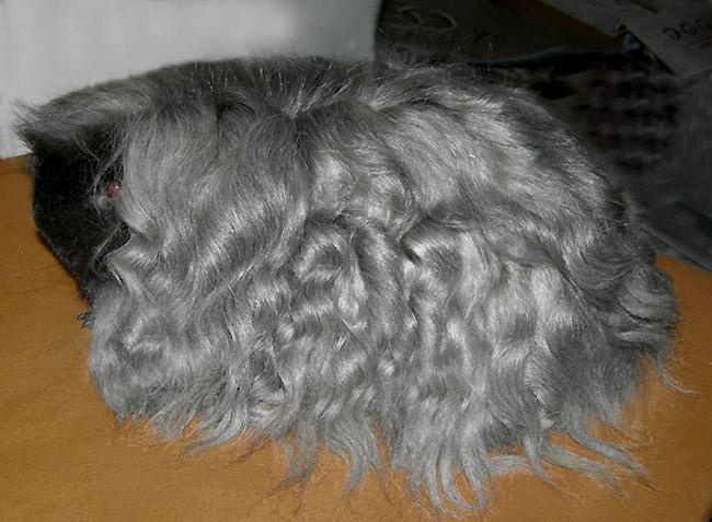 Морская свинка породы Мерино.