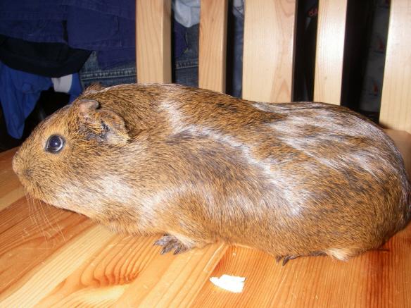 Морская свинка Агути.