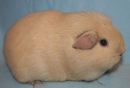 Морская свинка породы Селф.