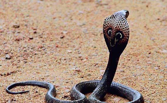 2812 Королевская кобра.