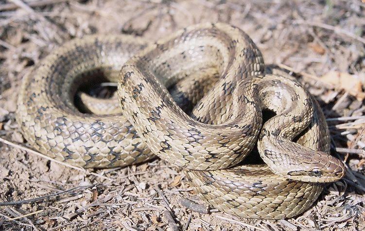 Змея Полоз узорчатый