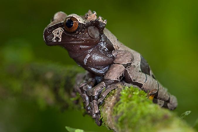 Коронованная древесная лягушка