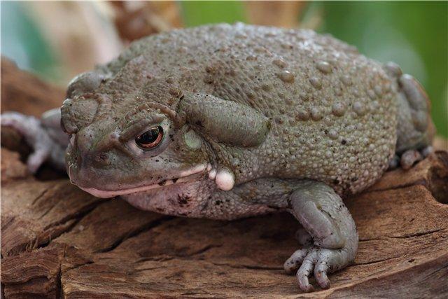 4468 Колорадская речная жаба