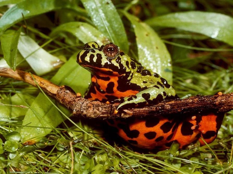 Лягушка Краснобрюхая жерлянка