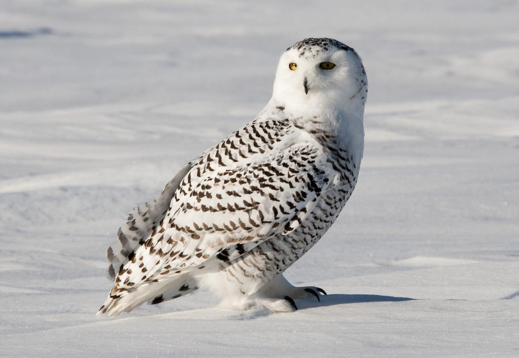 Белая сова (полярная).