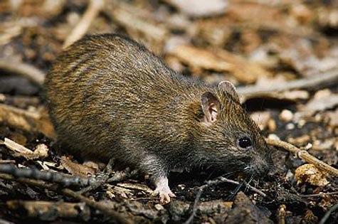 Крысовидный хомячок