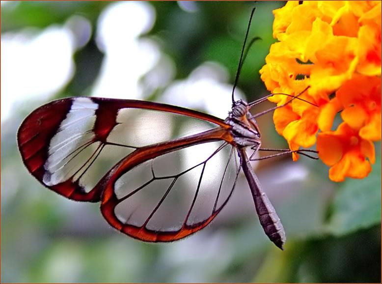 Бабочка Стеклокрылка