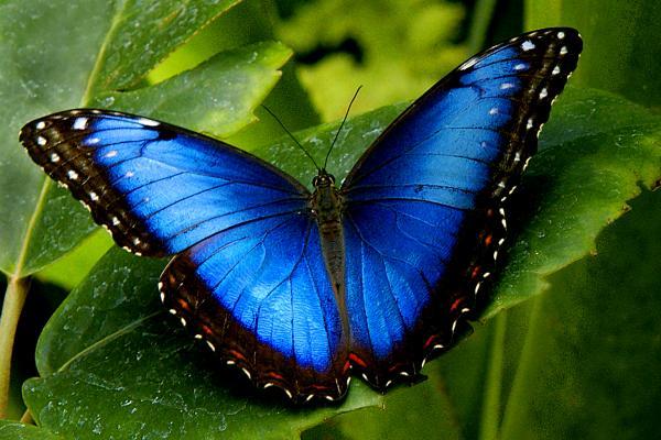 Бабочка Голубой Морфо