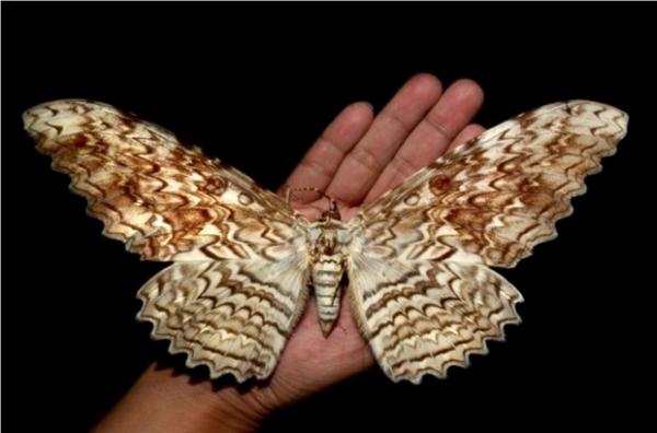 Бабочка Тизания агриппина