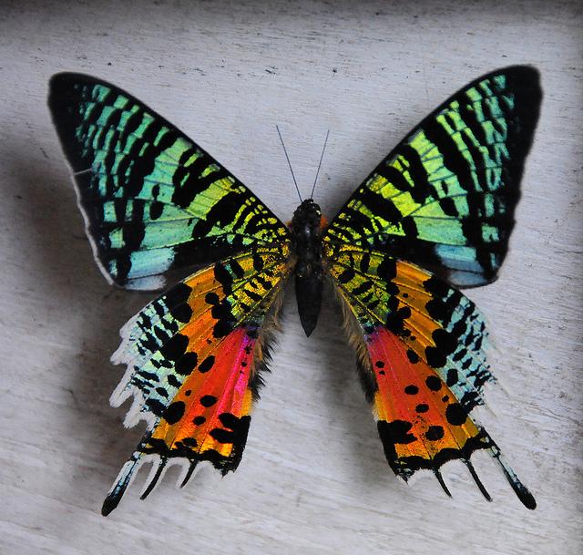 Бабочка Урания мадагаскарская