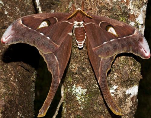 Бабочка Косциносцере геркулес
