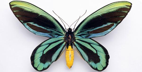 Бабочка Птицекрыл королева Александра