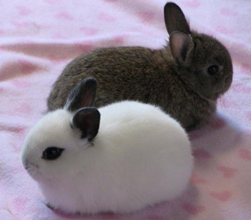 Кролик, порода Короткошерстный карликовый