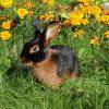 Кролик, порода Черно-огненный
