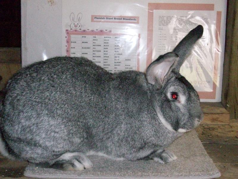 Кролик, порода Серый великан