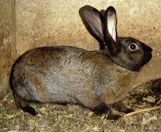 Кролик, порода Советский мардер