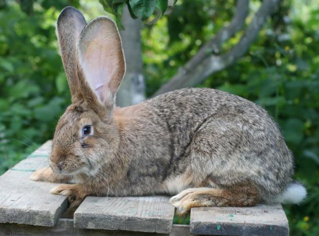 Кролик, порода Ризен