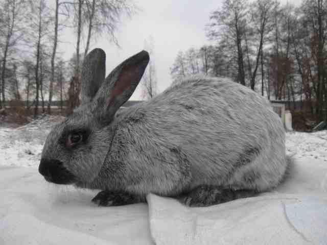 Кролик, порода Серебристый