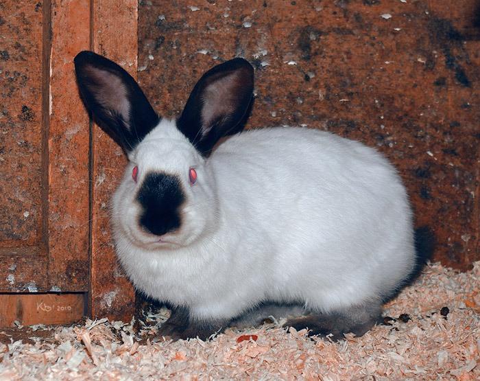 Кролик, порода Русский Горностаевый