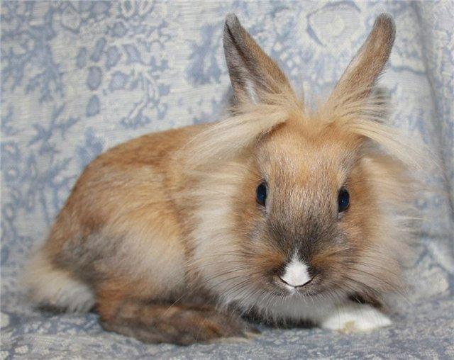 Кролик, порода Львиная Головка