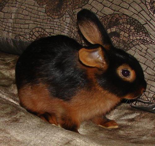 Кролик, порода Огневка ( Карликовый Баран  )