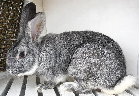 Кролик, порода Советская шиншилла