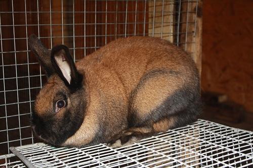 Кролик, порода Тюрингенский