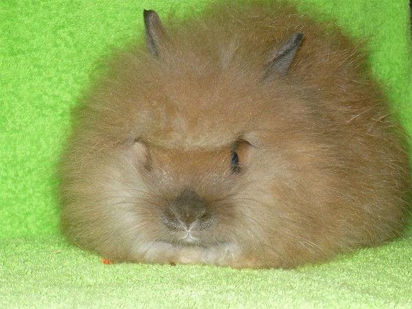 Кролик, порода Ангорский лев