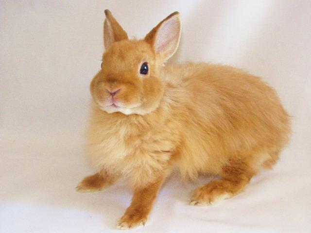 Кролик, порода Лисий карликовый