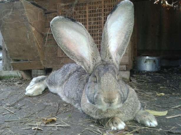 Кролик, порода Бельгийский великан ( Фландр )