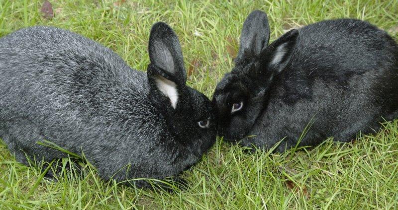 Кролик, порода Чёрно-бурый
