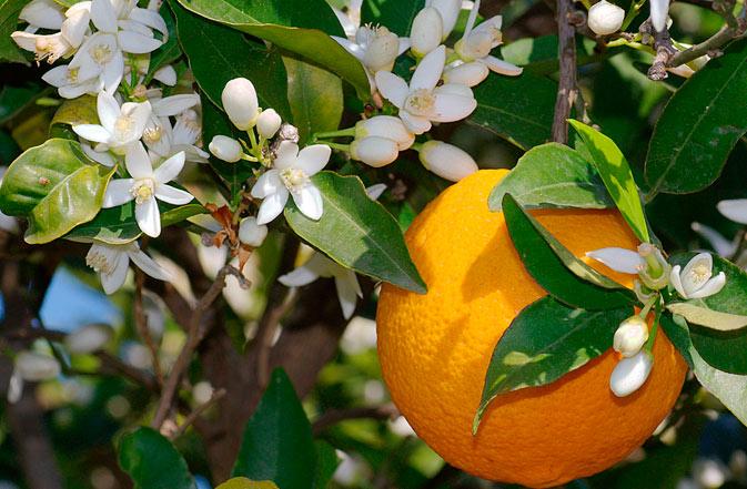 6124 Что полезно кушать? Апельсин.