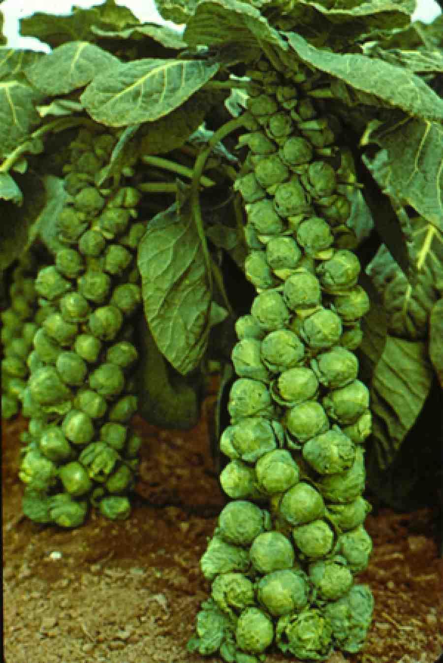 Какие бывают сорта капусты ? Кольраби, Цветная капуста, Совойская.