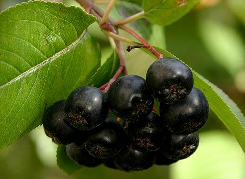 6239 Что полезно кушать? Рябина черноплодная (арония).