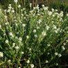 Лекарственные растения. Барбарис, Одуванчик, Омела, Первоцвет, Пастушья сумка. фото - gbb 100x100