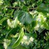 Лекарственные растения. Корианд, Коровяк скипетровидный, Клевер луговой. фото - ge 100x100
