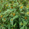 6619 Лекарственные растения. Репешок, Ревень, Хвощ полевой, Череда, Хмель.