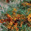 6556 Лекарственные растения. Овес посевной, Бузина черная, Облепиха, Мята перечная.