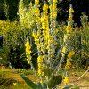 Лекарственные растения. Корианд, Коровяк скипетровидный, Клевер луговой. фото - gn 100x100