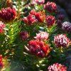 Лекарственные растения. Корианд, Коровяк скипетровидный, Клевер луговой. фото - gv 100x100