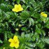 Лекарственные растения. Корианд, Коровяк скипетровидный, Клевер луговой. фото - gw 100x100